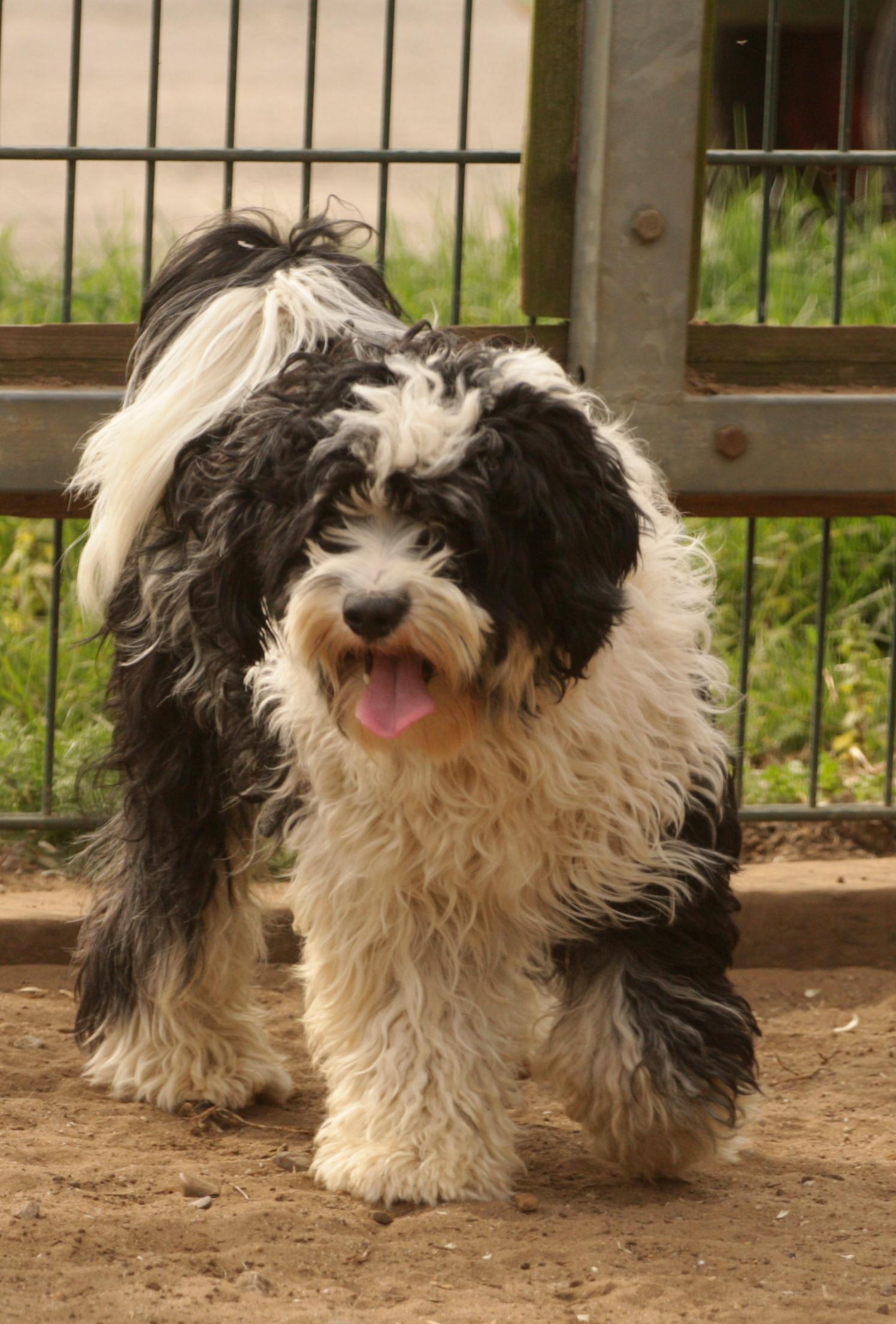 Tibet Terrier Welpen Aus Irmis Hundezucht