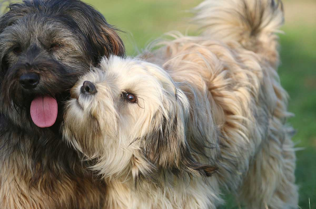 tibet-terrier-kaufen