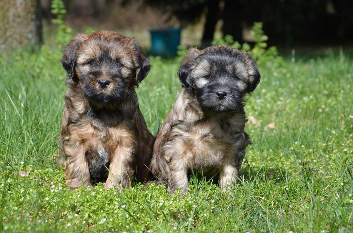 tibet-terrier-welpen