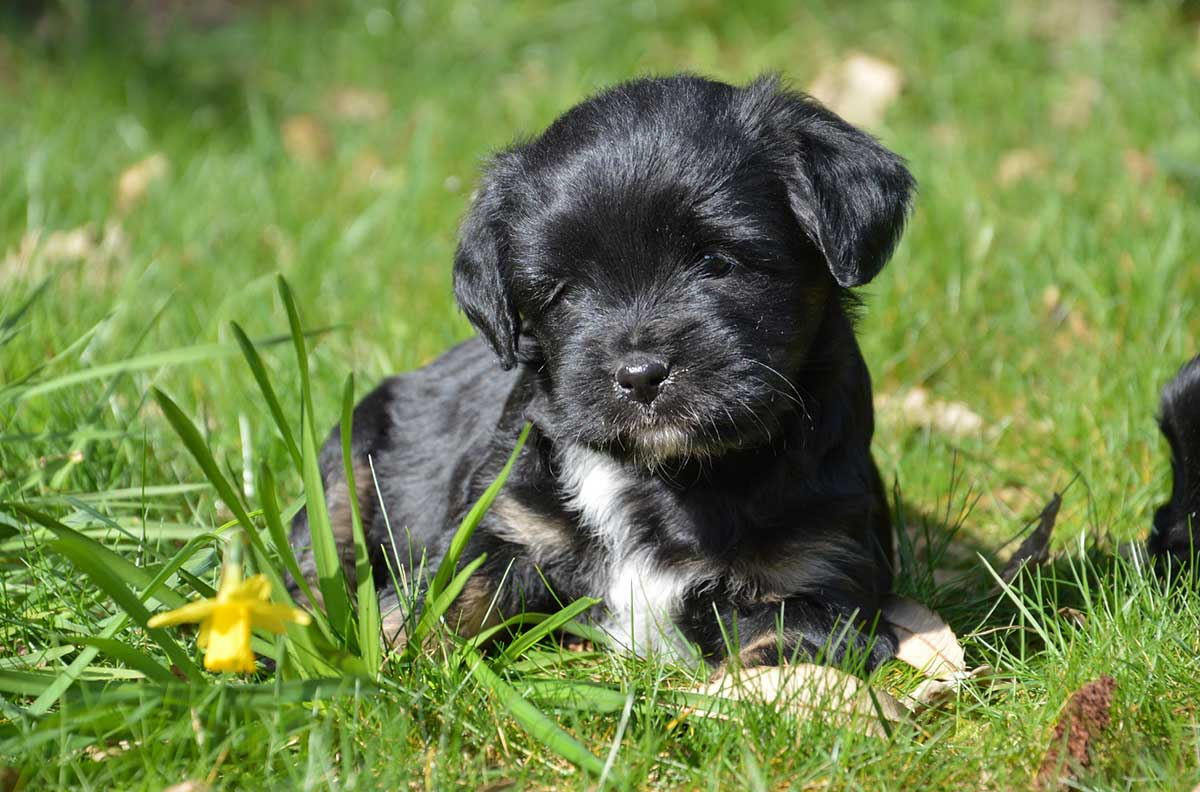 Irmis Hundezucht Fur Tibet Terrier Und Australian Sheperd In Reken